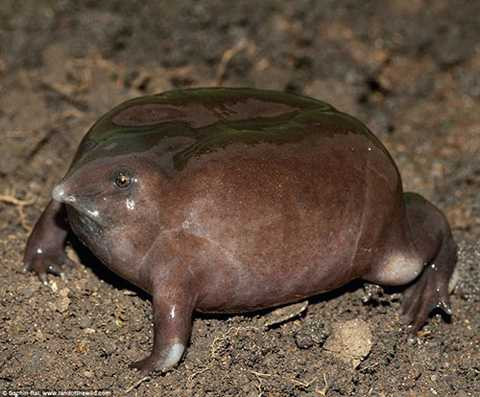 Ếch tía hay còn gọi là ếch mũi lợn, thường được phân bố ở Ghat Tây, Ấn Độ. Những mô tả đầu tiên về loài này chỉ mới xuất hiện vào năm 2003. Ếch tía có da màu tím nhạt, trơn và chủ yếu sống dưới lòng đất. Hiện tại, loài ếch này đang nằm trong nhóm bị đe dọa nguy cấp.