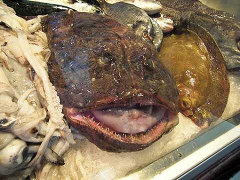 Lophius đôi khi còn gọi là cá thầy tu, cá cóc, quỷ biển. Đây là một trong những loài cá xấu nhất từng được tìm thấy. Đầu của cá thầy tu chiếm gần như toàn bộ cơ thể, miệng cá rất rộng và kéo dài gần bằng chiều dài của đầu.