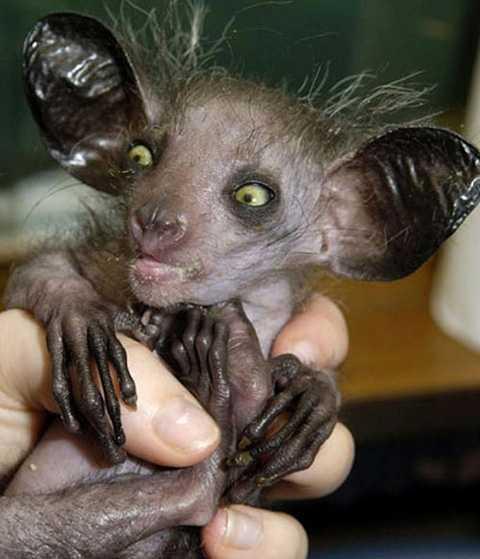 Khỉ aye-aye là loài linh trưởng sống ở Madagascar và được bình chọn là một trong những động vật xấu xí nhất hành tinh vào năm 2013.