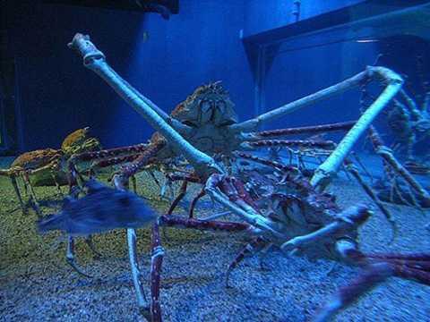 Cua nhện thường xuất hiện ở Nhật Bản và là loài có chân lớn nhất trong những loài chân đốt. Chân của chúng có hình dáng giống nhện và có thể dài tới 3,8m. Mặc dù có vẻ ngoài đáng sợ nhưng loài cua này khá hiền và nhút nhát.
