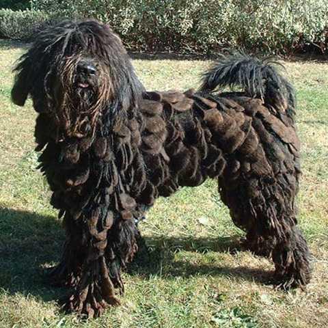 Loài chó này có nguồn gốc từ Milan, Ý. Chúng có bộ lông dày, xếp tầng như các loài lông vũ và được xếp vào loại dị nhất trong các loài chó.