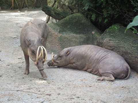 Lợn huơu thường sinh sống ở Indonesia. Khi trưởng thành, những con đực sẽ mọc ra những chiếc ranh nanh dài, uốn cong. Tuy nhiên, chiếc nanh này khá nguy hiểm với lợn huơu bởi nếu không mài thường xuyên, nó sẽ đâm vào hộp sọ của chúng.