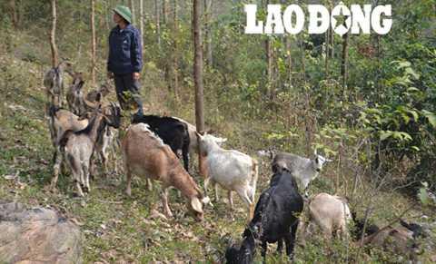 Ông Niệm với đàn dê trên núi.