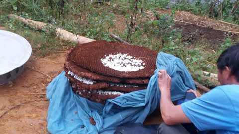 Bất chấp nguy hiểm, nhiều người dân vào rừng tìm tổ ong đất về nuôi để kiếm thêm thu nhập. Ảnh: Minh Châu.