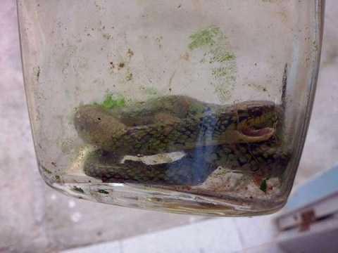 Lorenzo cắn con rắn độc mà không hề hấn gì