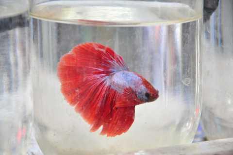 Một con cá betta được chào bán với giá 20.0000 đồng. Ảnh: Ngọc Lan.