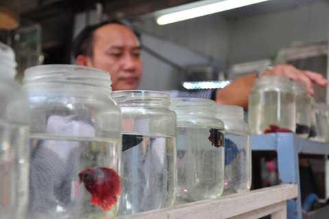 Mỗi lứa, một cá mẹ có thể đẻ được khoảng 300 cá con. Nếu giữ được tỷ lệ con con sống sót cao, người chơi sẽ thu về một khoản không hề nhỏ. Ảnh: Ngọc Lan.