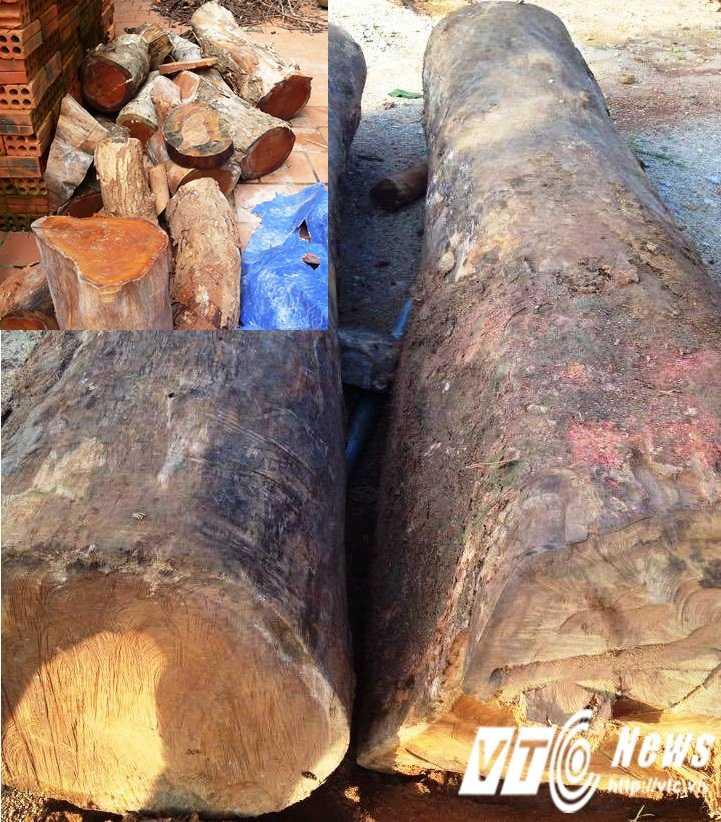 Sau khi bị đốn hạ, các cây cổ thụ được cắt thành nhiều đoạn nhỏ.