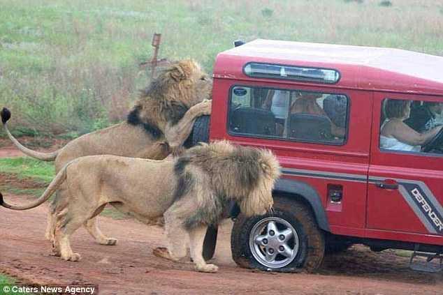 Sư tử tấn công xe du khách