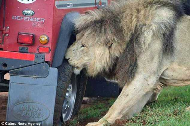 Lũ sư tử cắn lốp xe