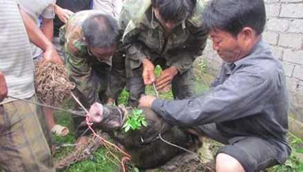 Một vụ lợn rừng tấn công người dân bị thương tại địa bàn Nghệ An.