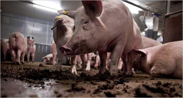 Lợn bệnh sẽ cho ra thịt bệnh, sản phẩm cuối cùng là những con người bệnh tật.
