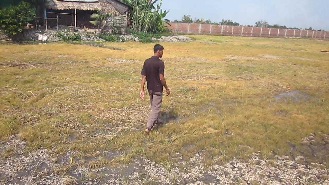 Ruộng của ông Nhã nơi bị bỏ thuốc diệt cỏ - Ảnh: Hoài Thương