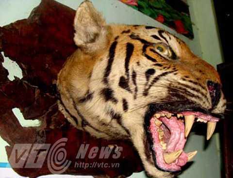 Tiêu bản đầu hổ ở Quỳnh Nhai