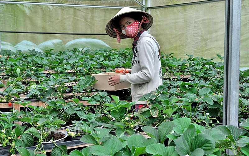 Kiểm tra kỹ lưỡng chất lượng của giống dâu Nhật Bản.
