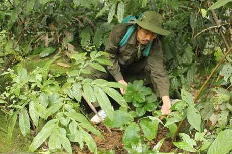 Lương y Thanh trồng thất diệp nhất chi hoa trong rừng
