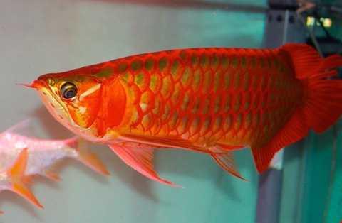 Ở Việt Nam, huyết rồng là giống cá cảnh   đắt tiền với giá hàng nghìn USD được nhập về từ Thái Lan, Indonesia...   dành cho dân chơi cá cảnh đại gia.