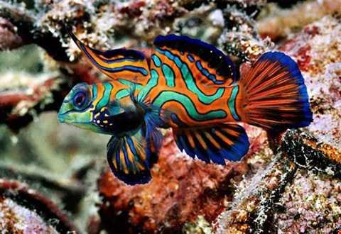 Cá trạng nguyên được coi là loài cá   đẹp nhất trong thế giới cá cảnh, được dân chơi Việt rất ưa chuộng và tìm   mua với giá 3 triệu đồng/con.