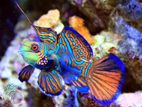 Cá trạng nguyên (có tên gọi khác là cá mó   bông), tên tiếng Anh là Mandarinfish, tên khoa học là Synchiropus   Splendidus. Loài này sống chủ yếu tại các quần đảo san hô của khu vực   Thái Bình Dương. Tên gọi của cá trạng nguyên xuất phát từ màu sắc của   chúng, giống như bộ áo của các tân trạng nguyên khi lên nhận phong chức.