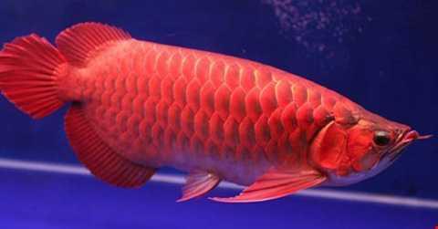 Cá huyết long (còn gọi là huyết rồng)   thuộc giống cá rồng, là loài cá cảnh đặc biệt quý hiếm, được dân chơi cá   cảnh ưa chuộng. Sở dĩ con cá đắt tiền là do sắc đỏ  lóng lánh của nó được cho là sẽ mang đến may mắn cho chủ nhân. Tên gọi cá huyết rồng bắt nguồn vì hai lý   do, trước tiên là cá có thân dài, uyển chuyển, đầu có đôi râu như rồng.   Và vì toàn thân cá có lớp vảy đỏ như màu máu nên người xưa mới gọi cá   huyết rồng.