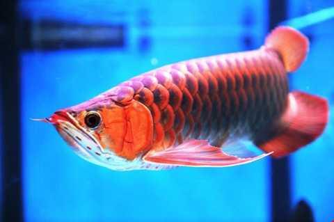 Nuôi cá huyết rồng là thú vui tốn kém   bởi ngoài bỏ ra hàng nghìn USD để mua cá, dân chơi còn phải lo chi phí   bể nuôi, đèn sưởi, thức ăn.... hết sức tốn kém.