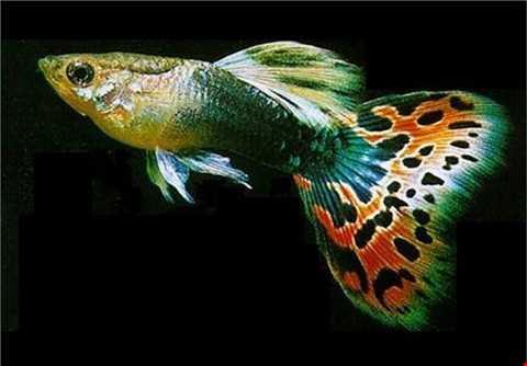 Cá 7 màu được coi là loài cá nguy hiểm nhất thế giới nhưng vẫn được