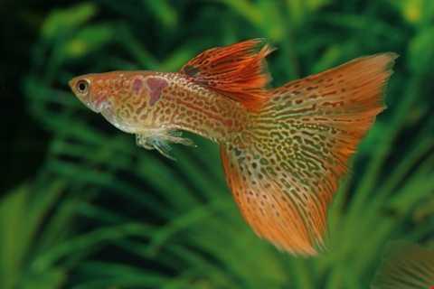 Giống cà này còn có tên gọi khác là cá   triệu hay Guppy, được mệnh danh là loài cá nguy hiểm hơn cả hổ và cá   mập. Cá 7 màu đang được bán khá phổ biến ở Việt Nam và được dân chơi cá   cảnh rất ưa chuộng.