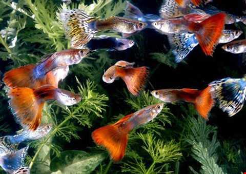 Đây là loại cá cảnh nước ngọt, có kích   thước khá nhỏ (chỉ từ 4-6 cm), nhưng sở hữu bộ vảy có màu sắc rất đẹp,   sáng và lấp lánh. Cá được bán với giá khoảng 70.000 - 100.000 đồng/con,   tùy màu sắc.