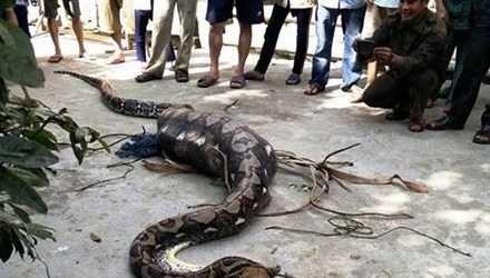 Con trăn nuốt chửng con bê bị người dân bắt được.