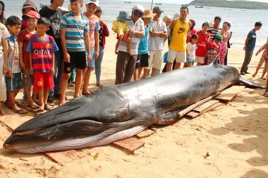 Con cá voi xanh được phát hiện dạt vào bờ hồi sáng 11/12 (Ảnh: Thanh Hải)