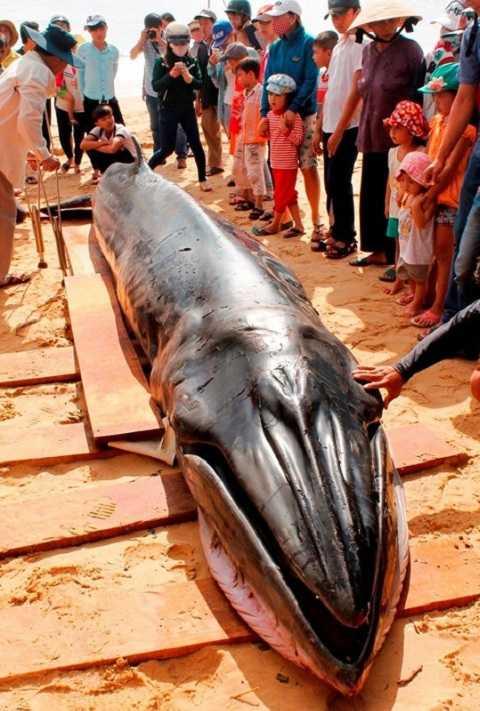 Người dân làm thủ tục mai táng cho con cá theo phong tục địa phương (Ảnh: Thanh Hải)