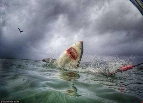 Mặc dù là động vật ăn thịt vô cùng nguy   hiểm dưới đại dương, nhưng cá mập đang đối mặt với nguy cơ tuyệt chủng   do bị săn bắt quá mức.