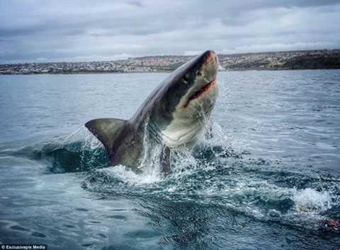 Mục đích Amanda Brewer thực hiện bộ ảnh   này là nhằm tuyên truyền về nguy cơ tuyệt chủng của loài động vật đáng   sợ nhất dưới đại dương.