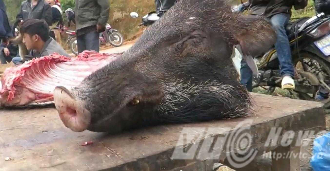 Thịt lợn rừng được xẻ thịt làm sẵn ngay tại chỗ - Ảnh: N.Malibu