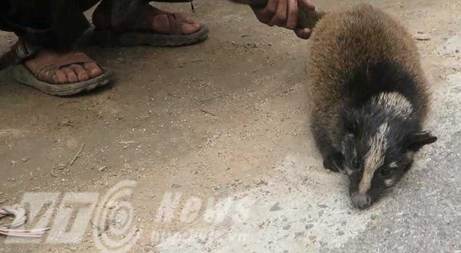 Ánh mắt đầy sợ hãi của con cầy hương - Ảnh: N.Malibu