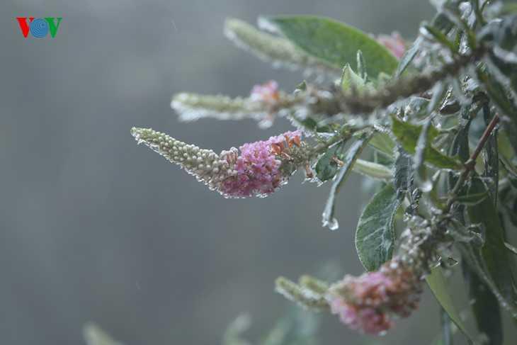 Sương đọng lại trên những cành hoa chưa kịp tan đã đóng băng.