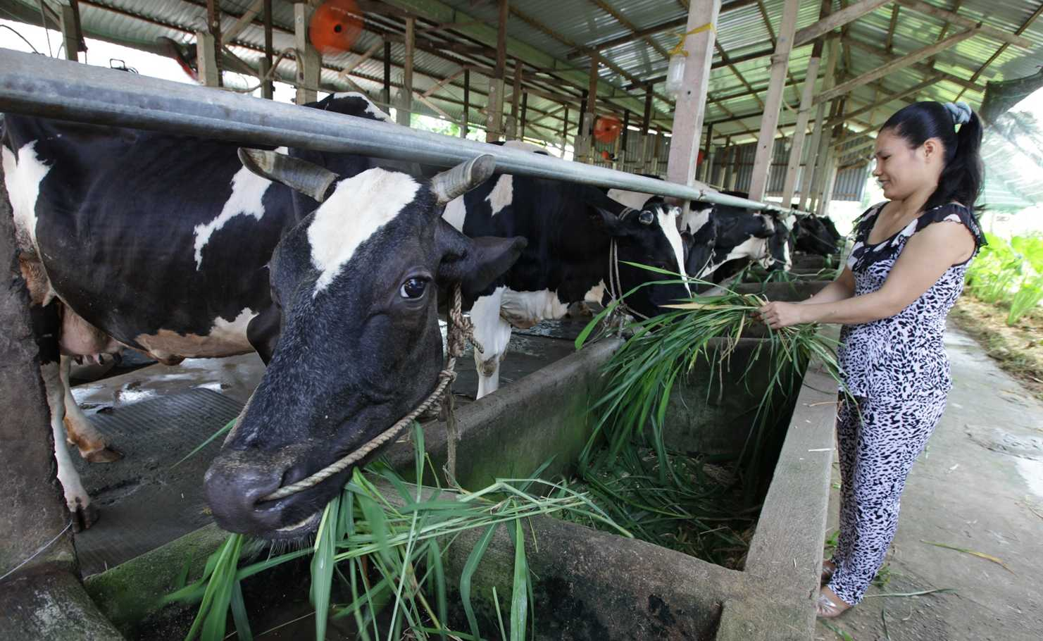 Hộ chăn nuôi bò sữa tại huyện Củ Chi, TP.Hồ Chí Minh