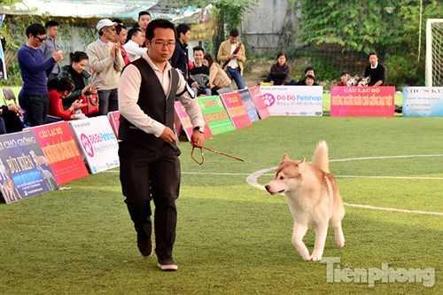 Các chú chó sau khi kiểm tra xong sẽ trình diễn phần thi của mình bằng cách di chuyển xung quanh sân.