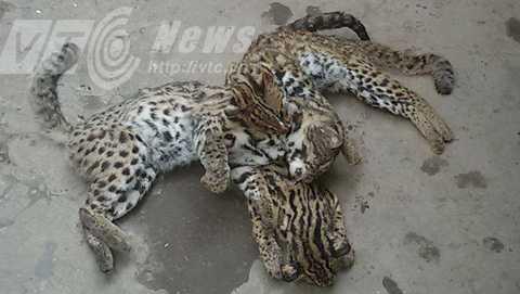 Hai chú báo mèo ở bãi giữa sông Hồng bị bắn chết và đưa vào nhà hàng