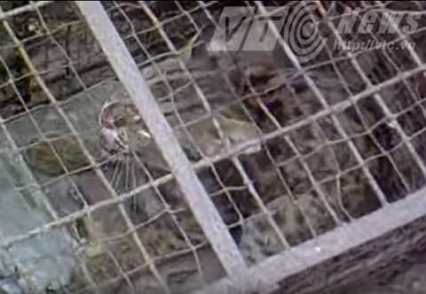 Một con báo mèo nhỏ bị người dân Văn Khê bắt được hồi đầu năm