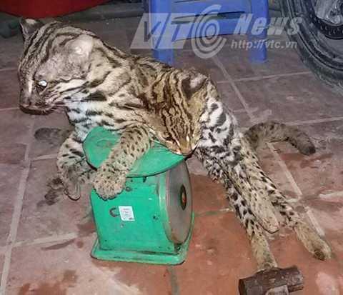Báo mèo ở bãi giữa bị thợ săn làm thịt