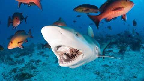 Cá mập nhanh chóng nuốt chửng bầy cá mồi.
