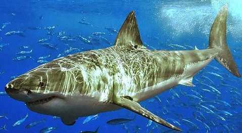 Rốt cuộc bầy cá mồi đã được tự do bơi quanh cá mập.