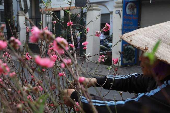 Người bán rong cho biết, để có được những cành đào nở đúng dịp này, các chủ vườn đào phải chăm sóc, tuốt lá cho hoa từ cách đây 1 tháng.
