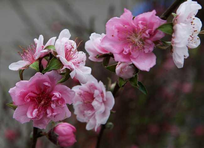 Để có những bông hoa đào trắng hồng như vậy, người trồng đào phải lai ghép rất khó khăn và phải có kinh nghiệm trong việc lai các giống đào với nhau.