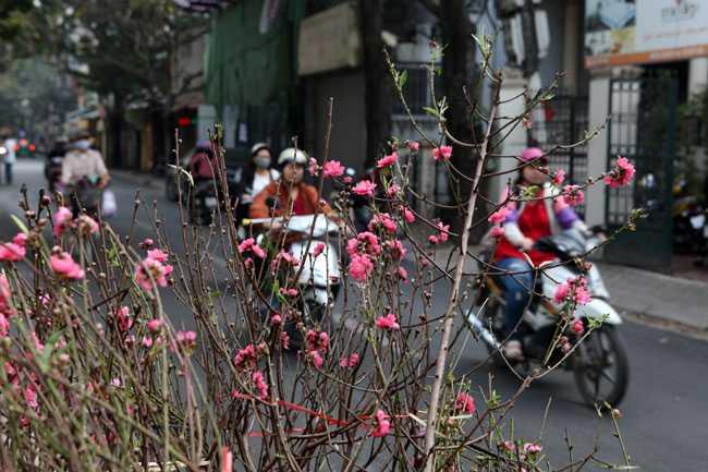 Đào phai, đào bích khoe sắc giữa phố phường Hà Nội, khiến nhiều người đi qua thích thú.