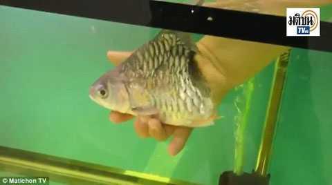 Con cá bơi lội tung tăng trong bể. (Nguồn: Matichon TV)
