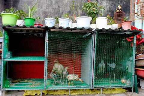Hay làm chuồng nuôi gà trên sân thượng