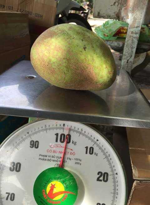 Mỗi quả xoài loại này có trọng lượng lên đến 2 kg khiến người dân tò mò đặt mua về ăn thử