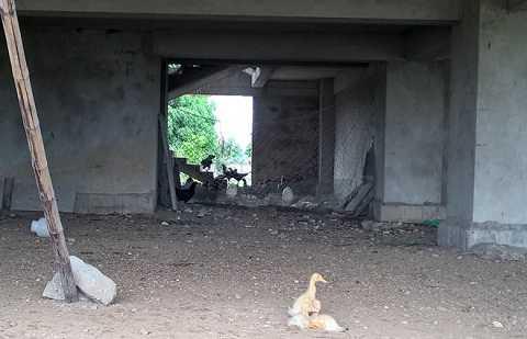 Bảo vệ công trình tận dụng tầng 1 khu nhà bỏ hoang để chăn nuôi gà vịt. Ảnh: Nguyễn Dương.